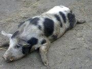 свиннину