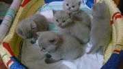 Британские плюшевые котята,