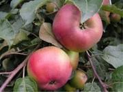 саженцы яблони,  сорта Теремок,  Имант