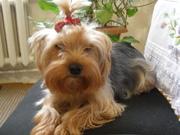 Красивый щенок йоркширского терьера