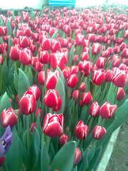 Тюльпаны к 8 Марта,  17 сортов