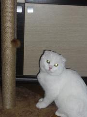 Белого вислоухого кота