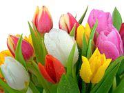 Продам тюльпаны к 8 марта оптом!