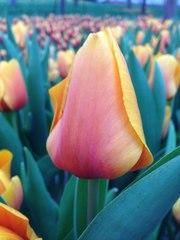 Тюльпаны  по выгодным ценам к 8 марта!