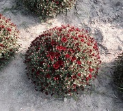 ЦВЕТЫ оптом (розы,  хризантемы) Доставка по РБ