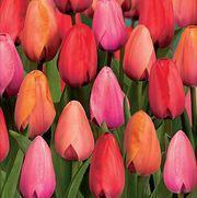 Тюльпаны в Пинске