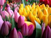 тюльпаны в Пинске оптом и в розницу к 8 марта