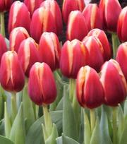 Цветы тюльпаны оптом в Пинске.Возможна доставка по РБ.