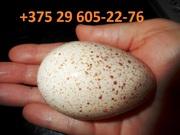 Яйцо индюшиное. Яйцо на разведение индюков,  индюшонок. Суточные